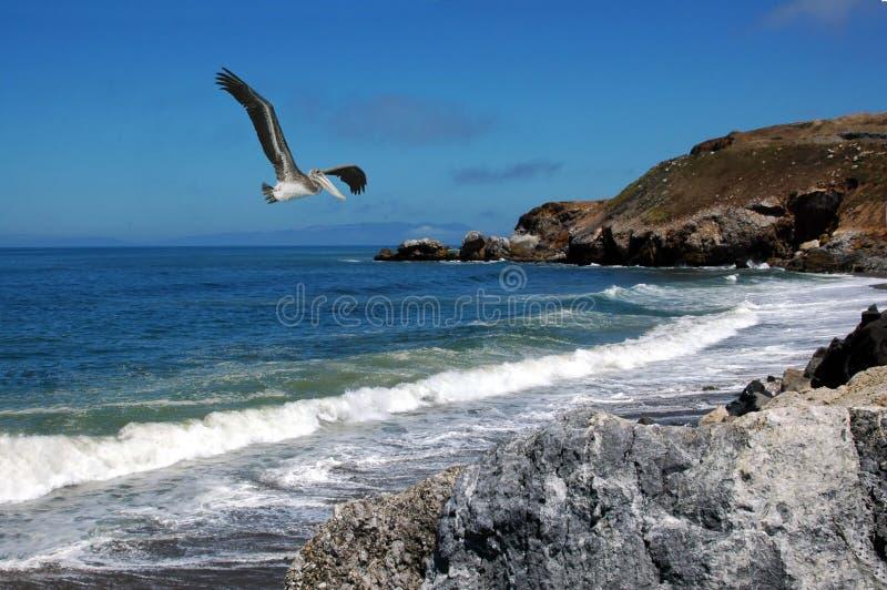 Pelicano no vôo imagens de stock royalty free