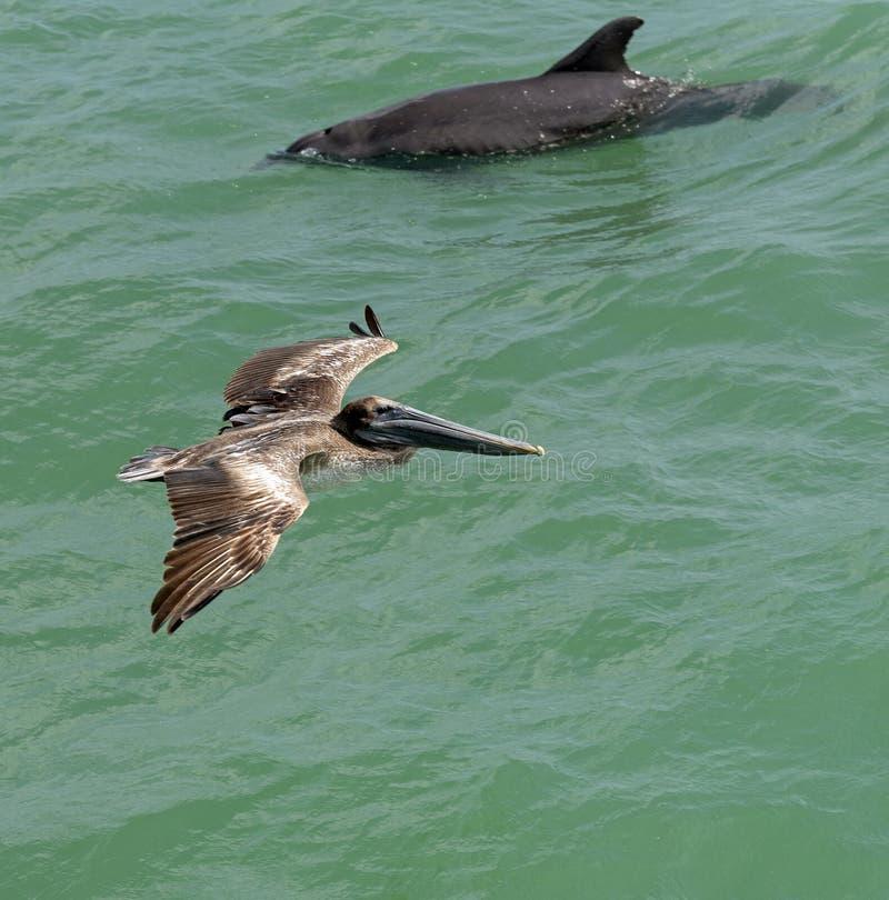 Pelicano norte-americano que procura o alimento foto de stock