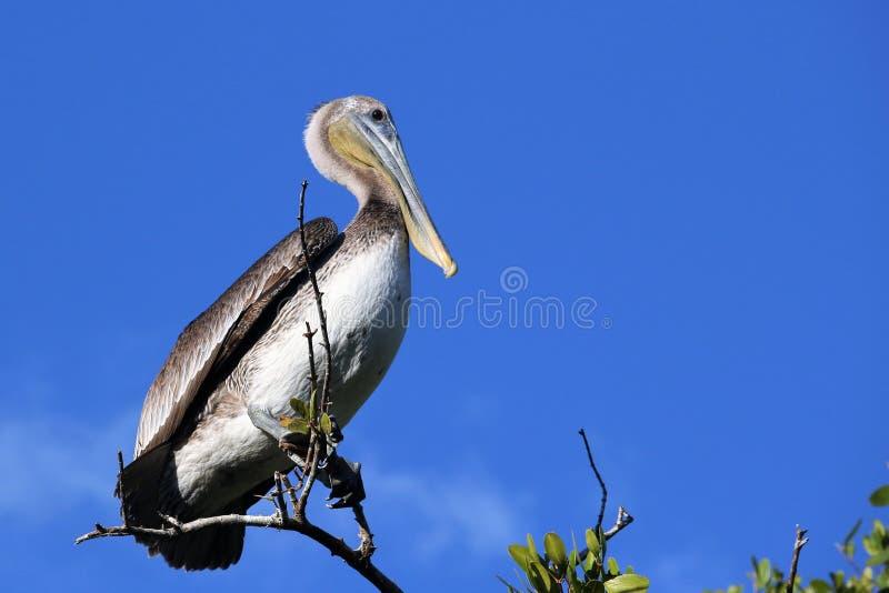 Pelicano nos marismas de Florida foto de stock royalty free