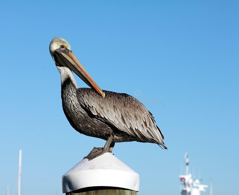 Pelicano nos marismas parque nacional, Florida imagens de stock