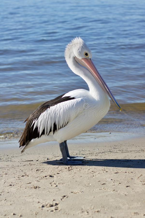 Pelicano ou Pelecanus australiano Conspicillatus que está na areia com água que dobra delicadamente atrás - da imagem fotos de stock