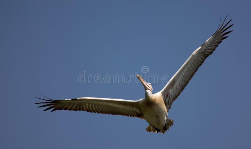 pelicano Ponto-faturado imagens de stock royalty free