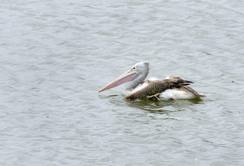 pelicano Ponto-faturado no santuário do pássaro de Uppalapadu fotografia de stock