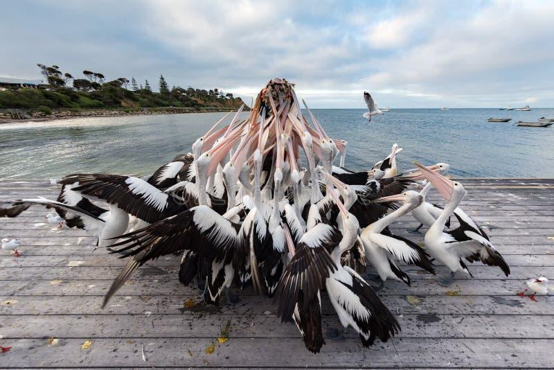 Pelicano que alimenta na ilha do canguru, Austrália imagem de stock