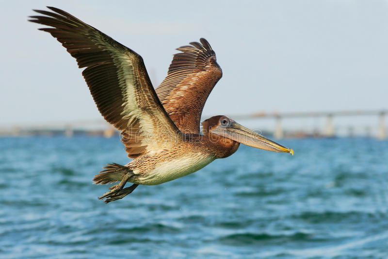Pelicano que começa na água azul Pelicano de Brown que espirra na água pássaro na água escura, habitat da natureza, Florida, EUA  fotos de stock