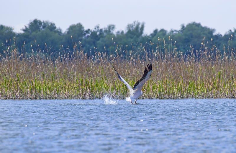 Pelicano que decola da lagoa fotos de stock
