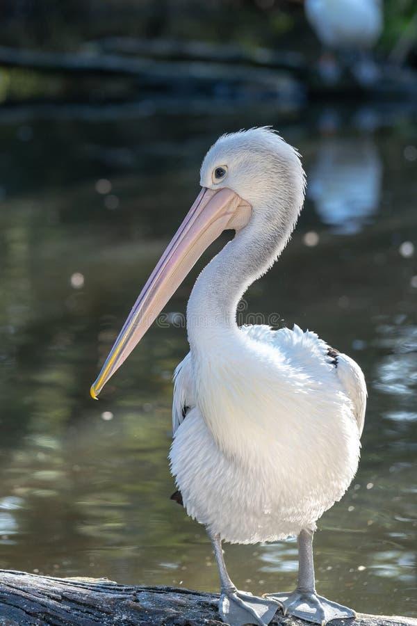 Pelicano que está em um log perto de uma lagoa imagem de stock
