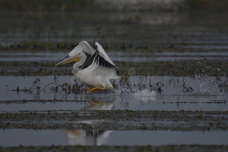 Pelicano que tenta à decolagem imagem de stock royalty free