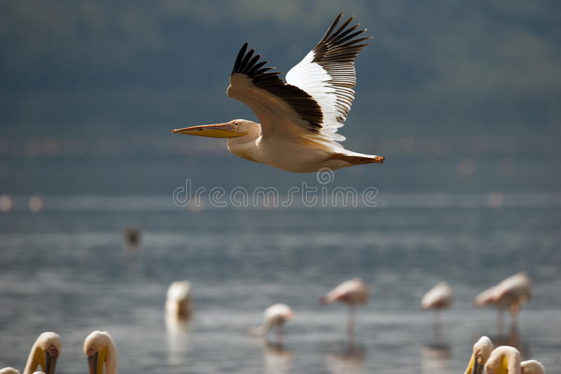 Pelicano que voa sobre o lago foto de stock