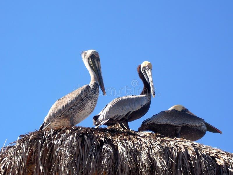 Pelicano sob o sol fotografia de stock