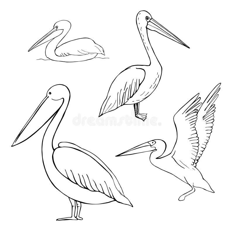 Pelicano tirado mão Ilustração do esboço do vetor ilustração do vetor