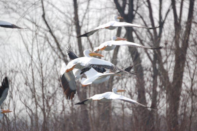 Pelicanos 2 fotografia de stock