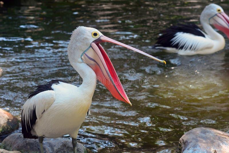 Pelicanos australianos imagens de stock royalty free