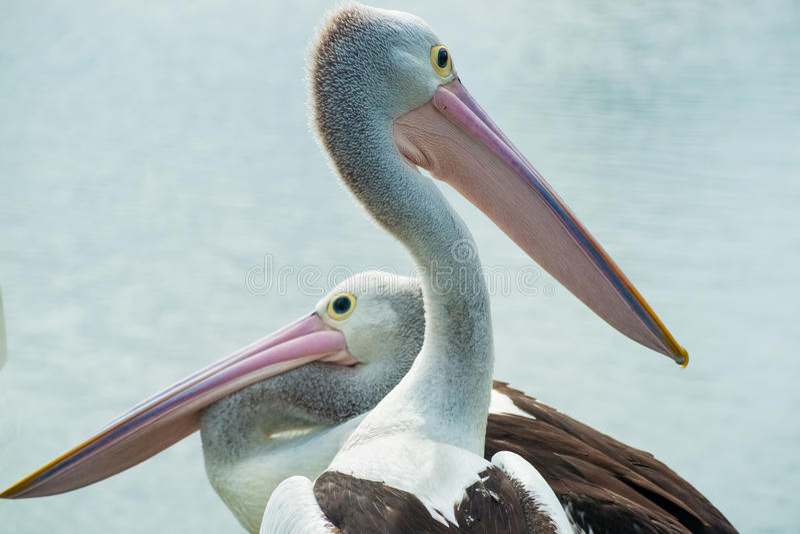 Pelicanos australianos que olham sentidos diferentes foto de stock royalty free