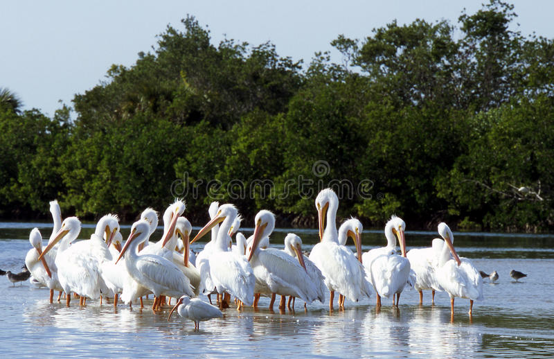 Pelicanos brancos foto de stock royalty free