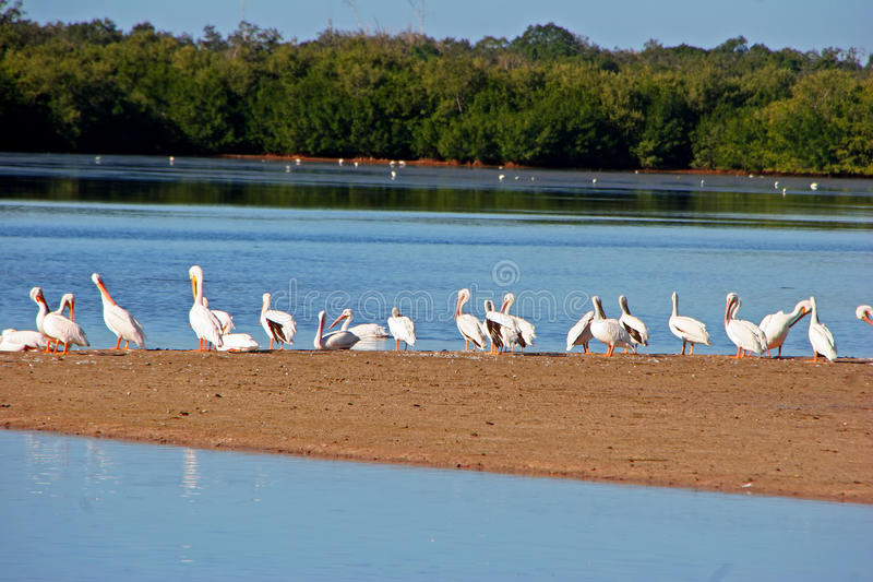 Pelicanos Brancos Americanos Imagem de Stock