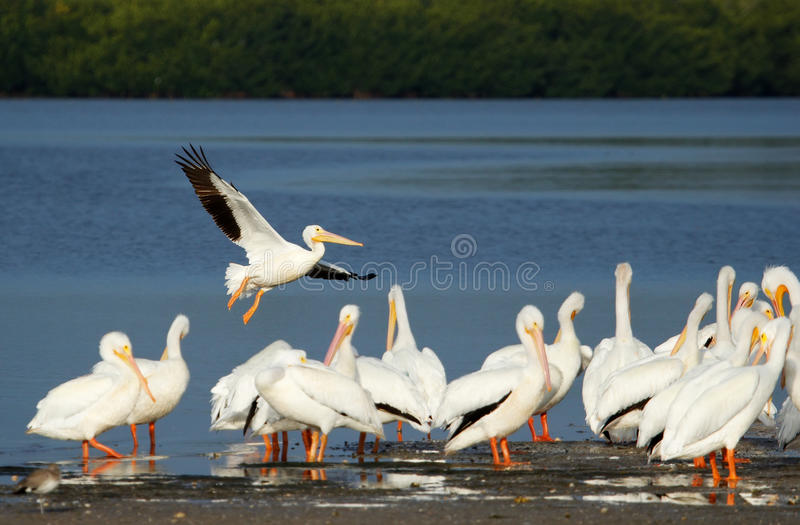 Pelicanos brancos em Ding Darling National Wildlife Refuge fotos de stock royalty free