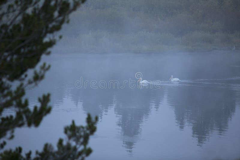 Pelicanos brancos, névoa, no rio Snake, parque nacional de Teton, Wyomin imagens de stock royalty free