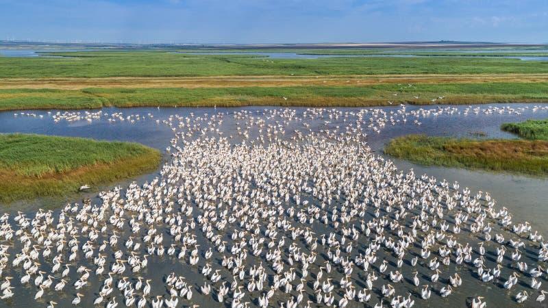 Pelicanos brancos no delta de Danúbio, Romênia imagem de stock
