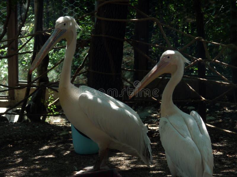 Pelicanos brancos Parque do safari Recurso de Kabardinka o Mar Negro Rússia imagem de stock royalty free