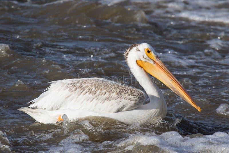 Pelicanos brancos que voam sobre ao norte distante para acoplar-se no escravo River, corredeira do pelicano, Ft Smith, território fotografia de stock royalty free