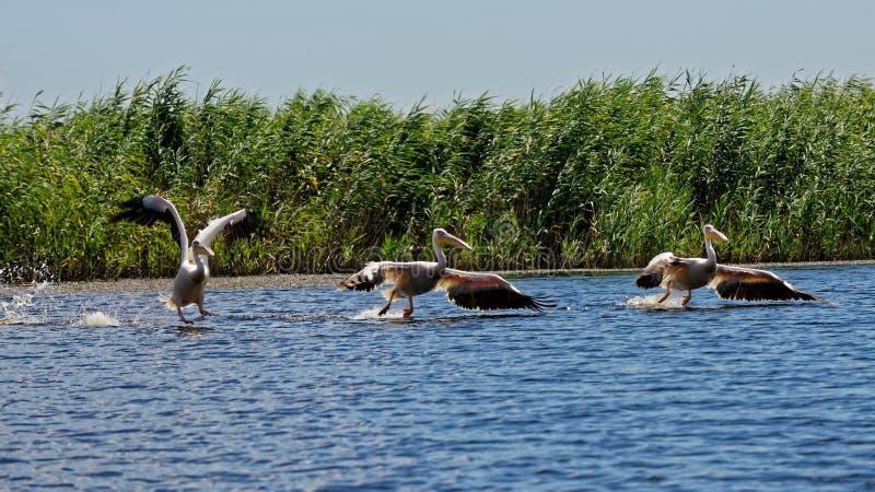 Pelicanos comuns que empoleiram-se na superfície de Danúbio fotos de stock royalty free