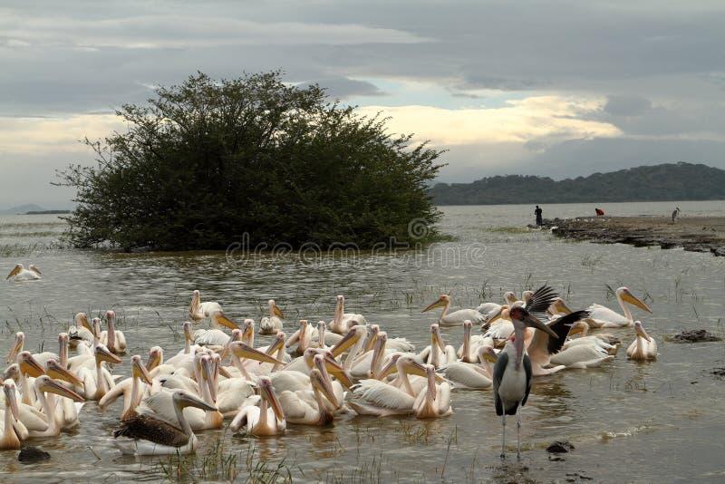 Pelicanos cor-de-rosa no lago Ziway em Etiópia fotografia de stock royalty free
