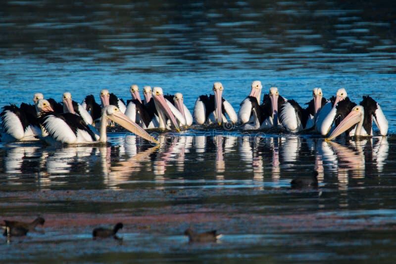 Pelicanos da caça fotos de stock