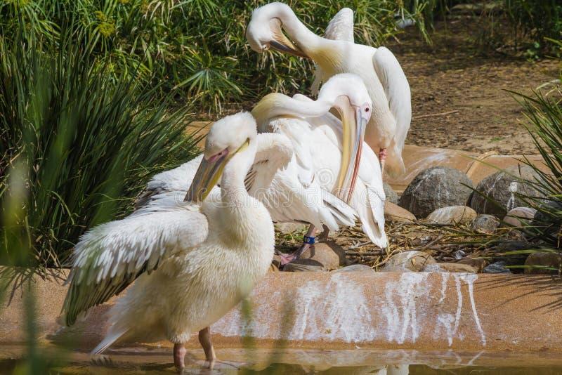 Pelicanos da preparação foto de stock
