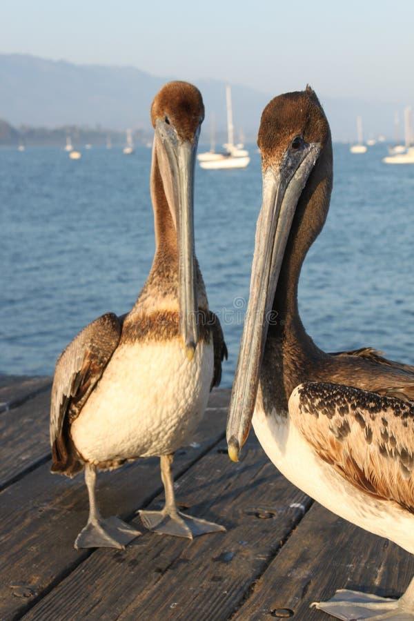 Pelicanos de Califórnia foto de stock