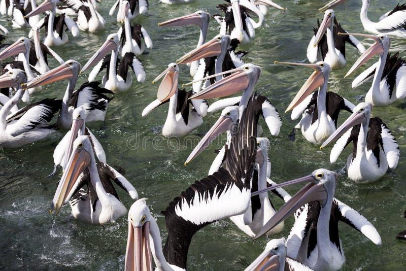 Pelicanos discutindo na costa em Austrália fotografia de stock