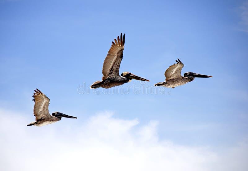 Pelicanos do vôo imagem de stock royalty free