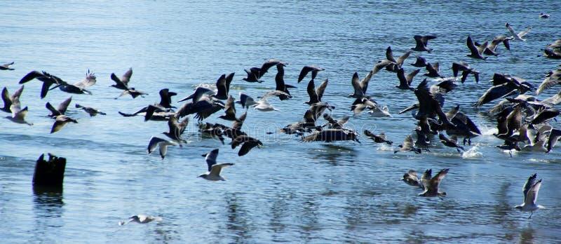 Pelicanos e cormorões de Brown que tomam o voo foto de stock royalty free