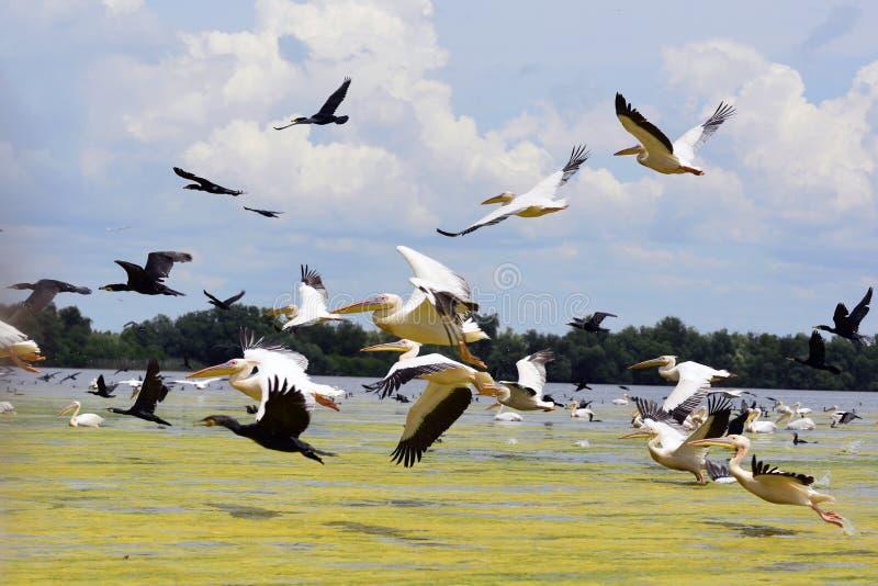 Pelicanos e cormorans que descolam no delta de Danúbio, Romênia foto de stock royalty free