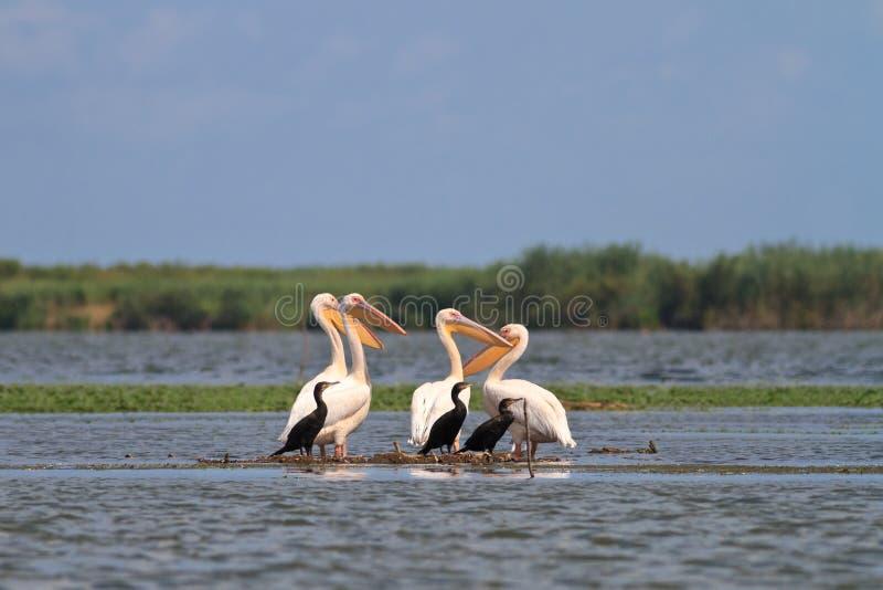 Pelicanos e cormorants foto de stock royalty free