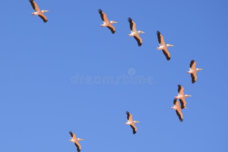 Pelicanos em Namíbia fotos de stock royalty free