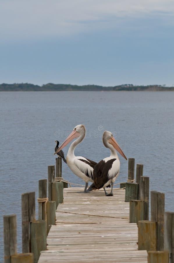 Pelicanos em um cais da aterragem da madeira, amarração imagem de stock royalty free