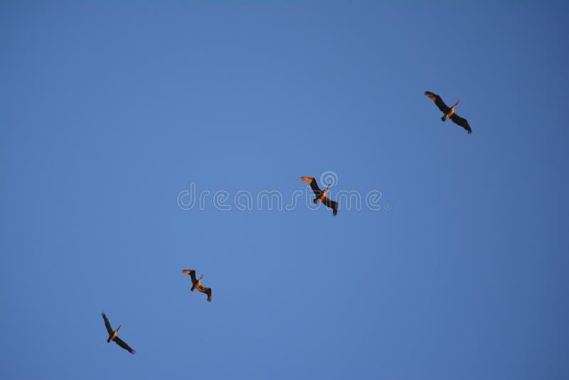 Pelicanos em voo fotografia de stock royalty free