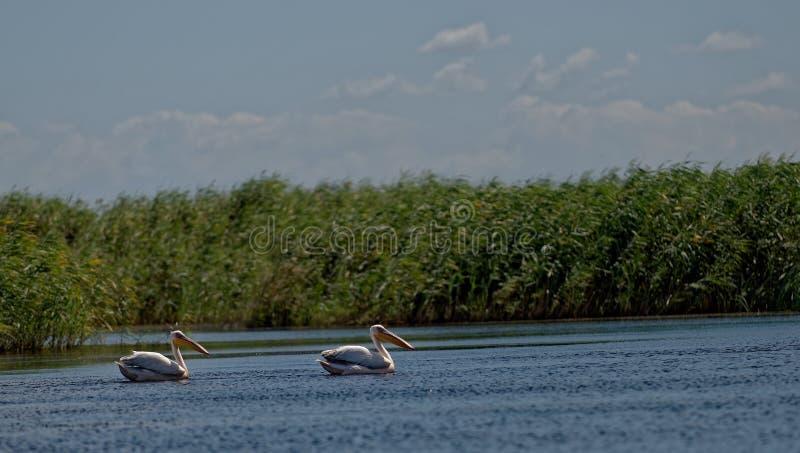 Pelicanos na superfície de Danube River fotos de stock