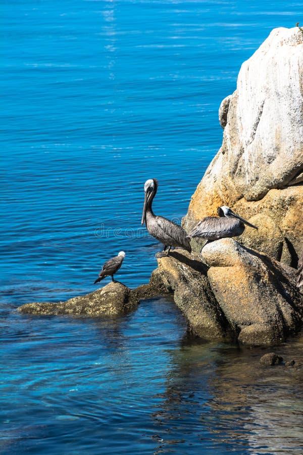 Pelicanos nas rochas, Monterey, Califórnia fotografia de stock royalty free
