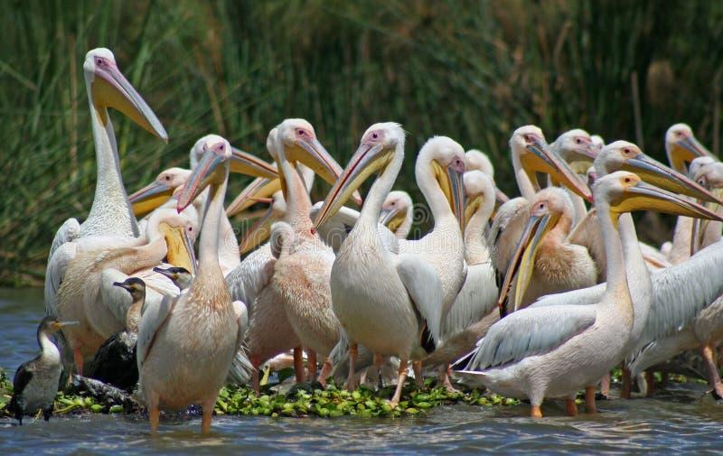 Pelicanos no lago Naivasha imagem de stock royalty free