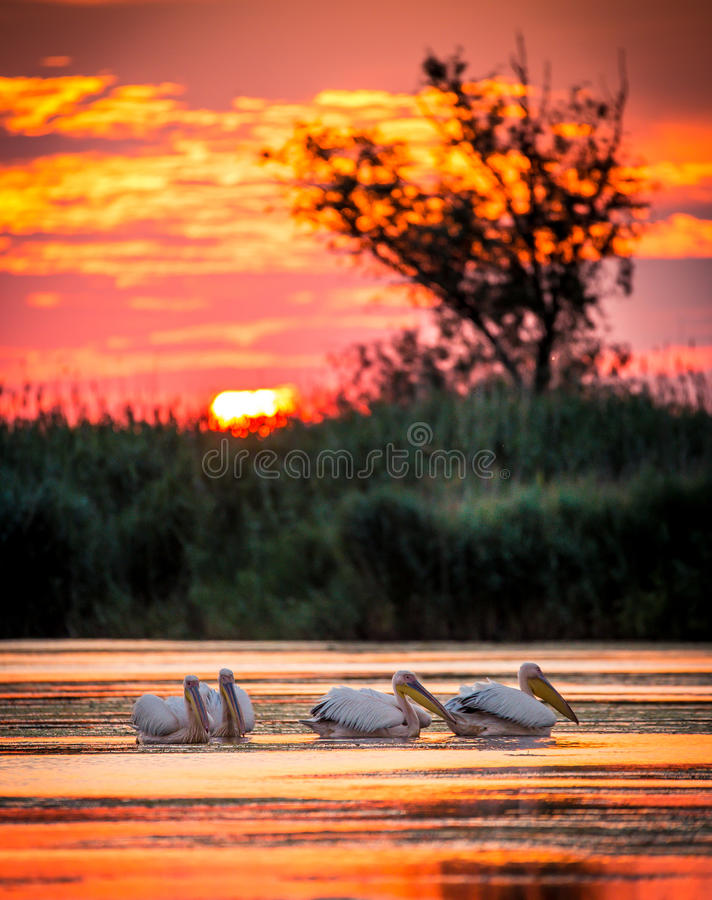 Pelicanos no nascer do sol no delta de Danúbio, Romênia foto de stock royalty free