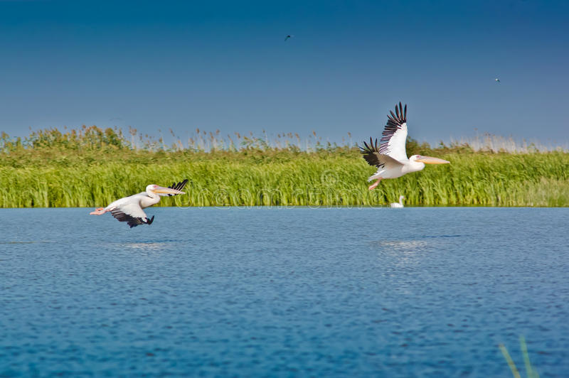 Pelicanos que descolam no delta de Danúbio fotografia de stock