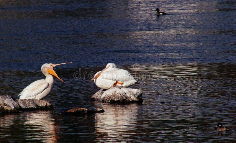 Pelicanos que sentam-se em rochas com os patos que nadam ao redor imagens de stock royalty free