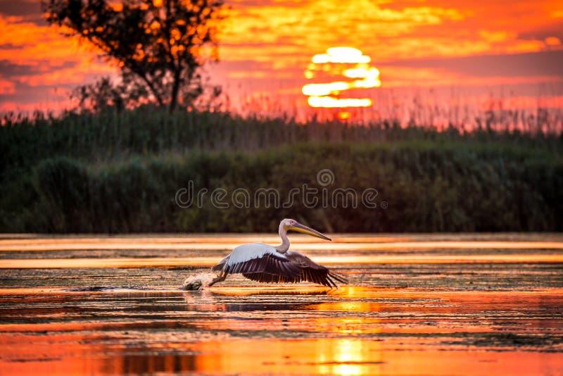 Pelicanos que voam no nascer do sol no delta de Danúbio, Romênia imagens de stock