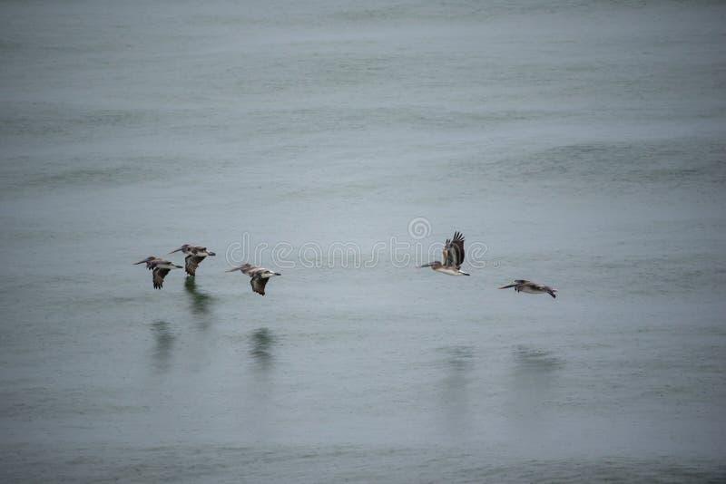 Pelicanos sobrevoando o Golfo imagem de stock