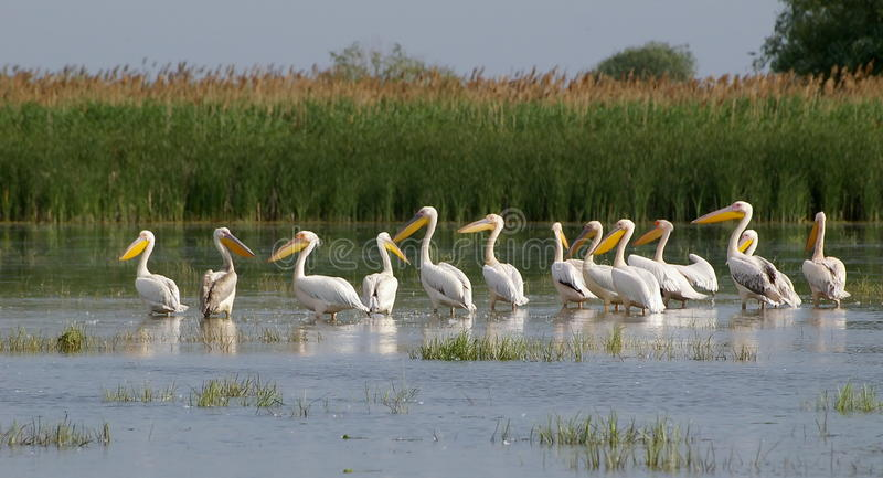 Pelicans. Are large birds with big pouched bills and long wings. More that 50% of white  breed in the Danube Delta