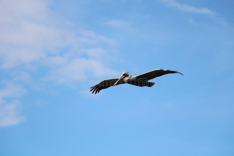 pelicans imagens de stock royalty free