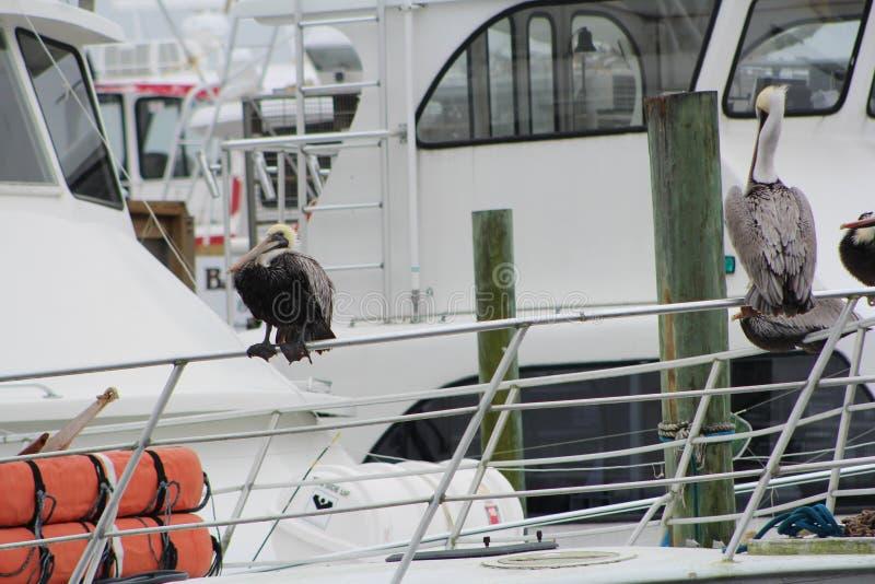pelicans foto de archivo