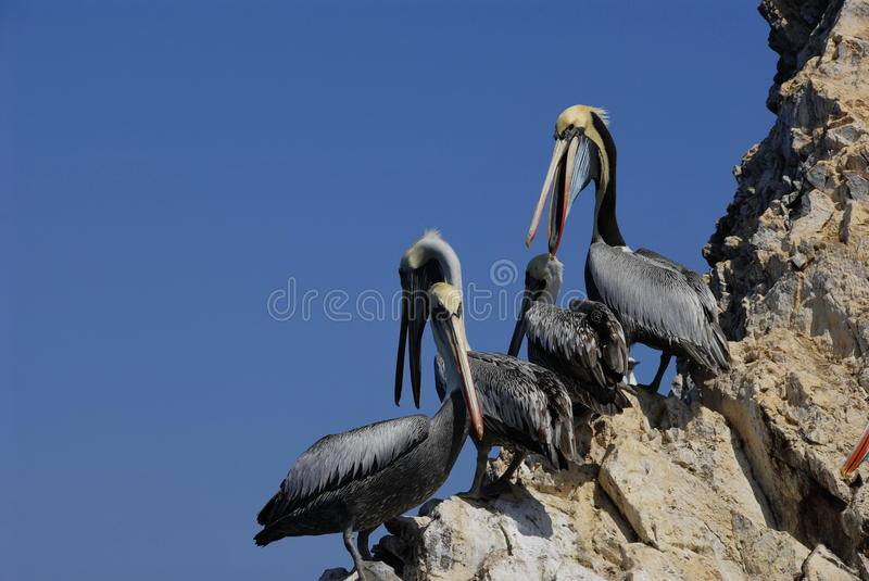 Download Pelicans stock photo. Image of pacific, bird, south, peru - 14809116